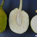 manfaat buah sukun untuk jantung, kulit, rambut