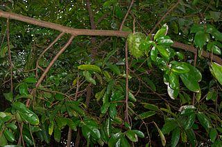 manfaat air rebusan daun sirsak untuk kesehatan